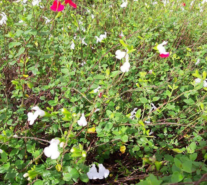 Plantes vivaces et collectivités territoriales, un choix raisonnable?